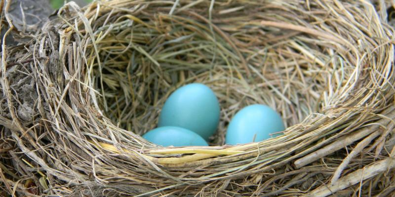 Bird's eggs in a nest