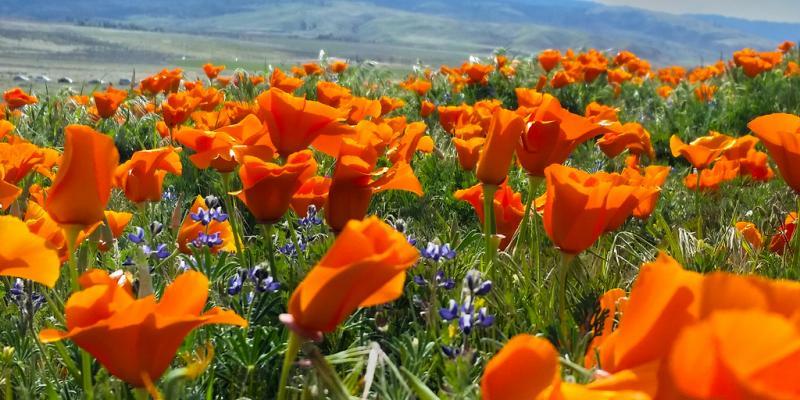 photo of golden poppies